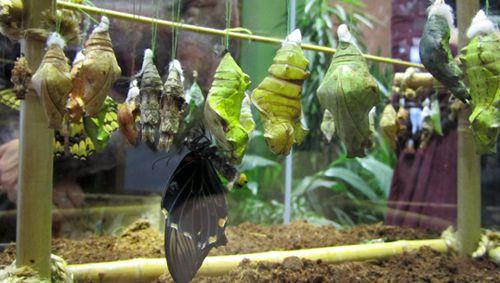 Куколки бабочек в инсектариуме