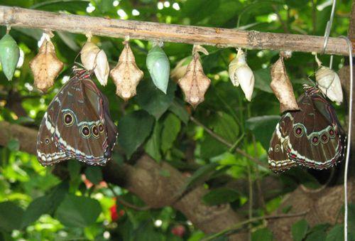 Бабочки выходят из куколки
