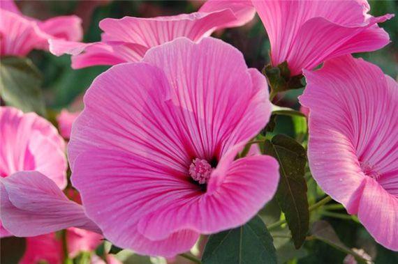 Цветок с розовыми цветами