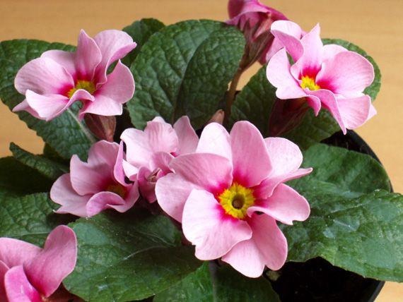 Комнатные цветы с розовыми цветками