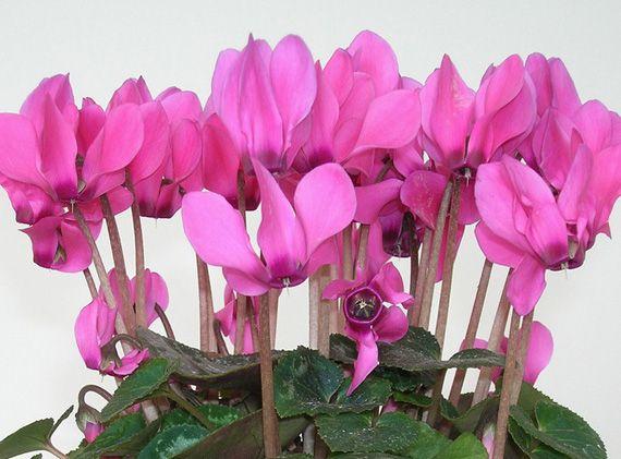 Цикламен с розовыми цветками