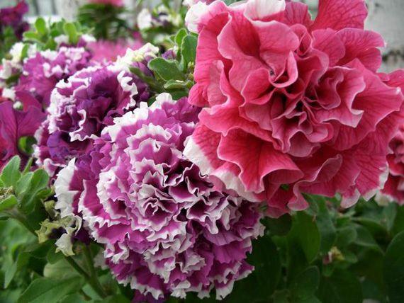 Розовая и фиолетовая петунья