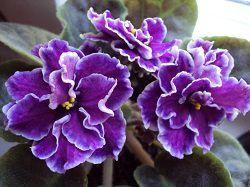 Фиолетовые фиалки