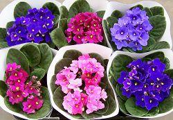 Фиалки разных сортов и цветов