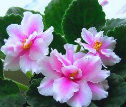 Розово белая фиалка
