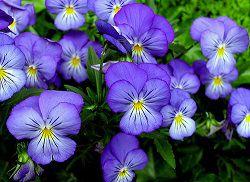 Садовая фиалка голубая
