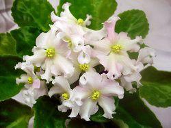 Фиалка с белыми цветками