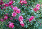 Кустовые розы на участке