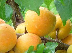 Делаем сок из абрикосов