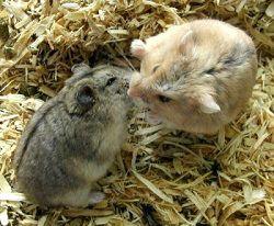 два хомячка
