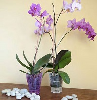 Орхидеи в стеклянном горшке