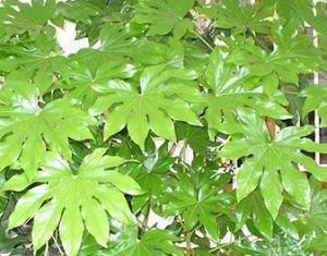 Красивые листья Аралии