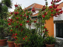 Каллистемон в саду
