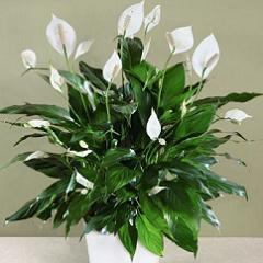 Спатифиллум обильно цветет
