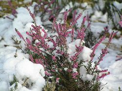 Вереск в снегу
