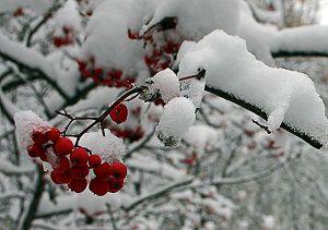 Ягоды рябины в снегу