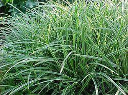 Трава осока или сыть