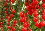 Спелые томаты в теплице