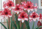 Цветущие гиппеаструмы