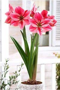 Розовые цветы гиппеаструма