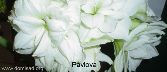Растение гиппеаструм фото