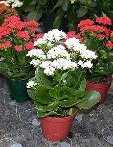 Каланхоэ разных расцветок
