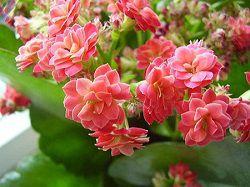 Нежные цветы каланхоэ