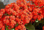 Красное цветущее каланхоэ