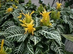 Афеландра с желтыми цветками