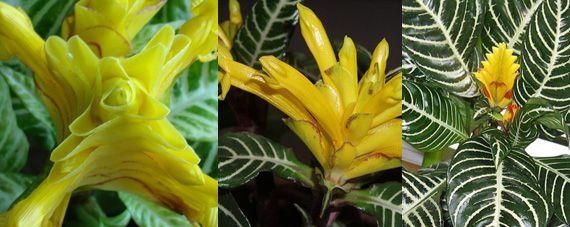 Афеландра оттопыренная ярко-желтая