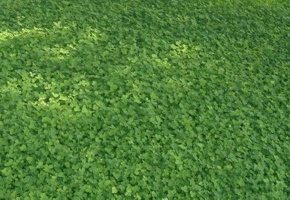 Клевер для газона