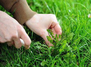 Удаляем сорняки из газона
