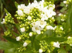Цветки хрена