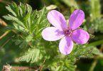 Цветок астника цукотного