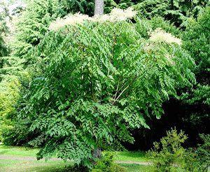 Аралия маньчжурская - куст цветет