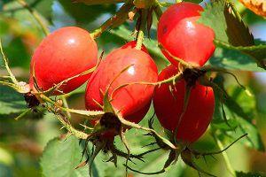 Плоды шиповника