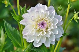 Белый цветок георгин