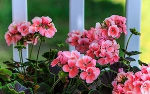 Розовая герань на окне в доме