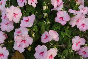 Цветок Огонек или Недотрога