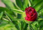 Многолетние растения - пионы