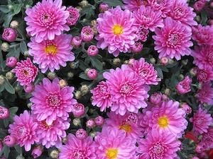 Розовые хризантемы