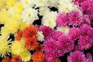 Как ухаживать за хризантемой?